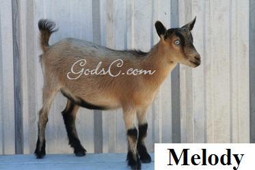 Melody Pygmy Nigerian Doe