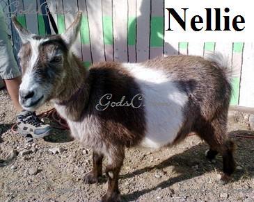 Nellie Pygmy Nigerian Doe Goat