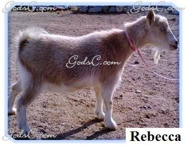 Rebecca Pygmy Nigerian Doe Goat