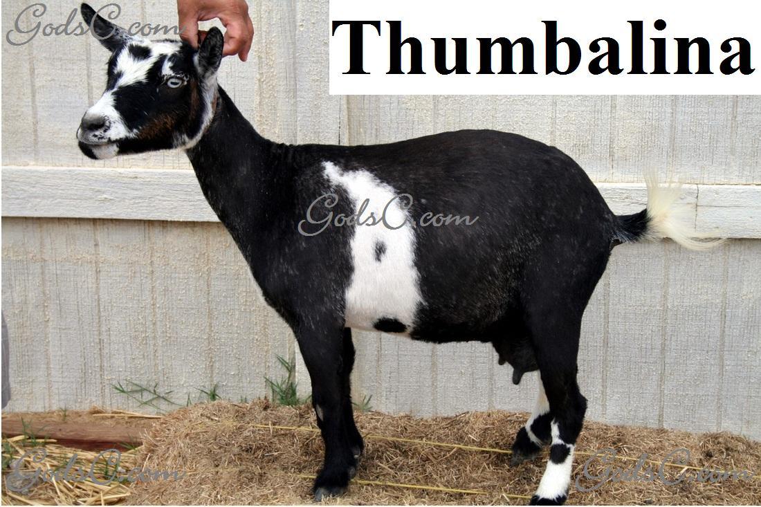 Thumbalina Pygmy Nigerina Doe Goat