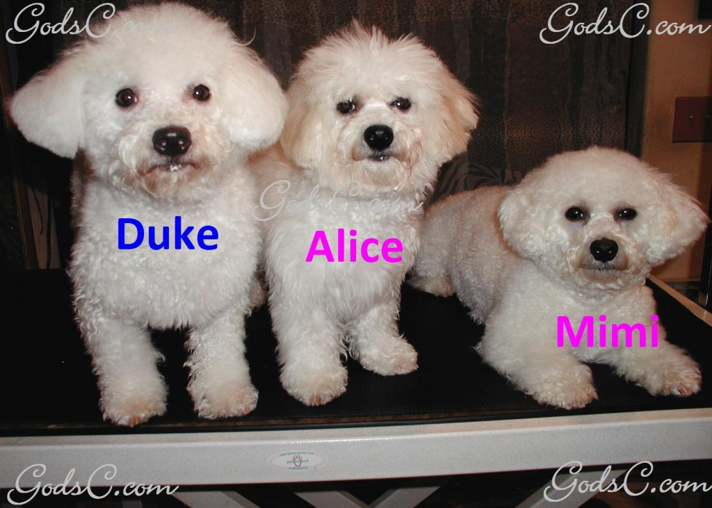 Alice the Bichon Frise with mom and dad p5