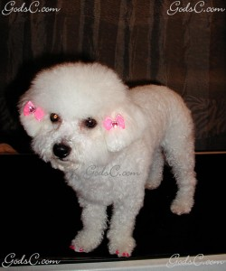 Dushess the Bichon Frise photo 2
