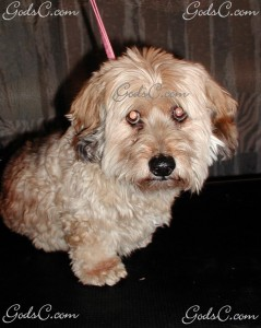 Sammy the Dandie Dinmont Terrier Mix before grooming front view.jpg