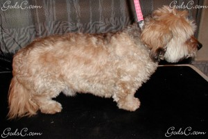 Sammy the Dandie Dinmont Terrier Mix before grooming right side view
