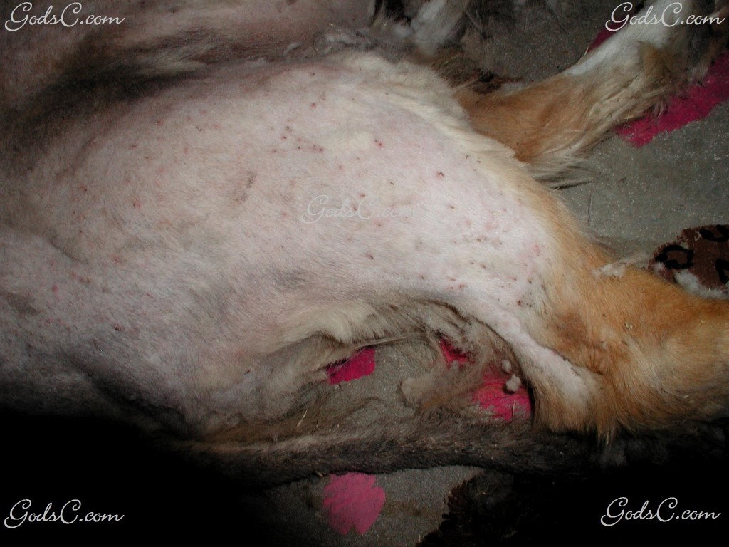 A dog with hundreds of thorns embedded in the skin