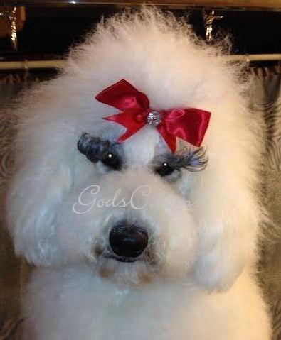 Adalia the Standard Poodle after creative rose groom face view