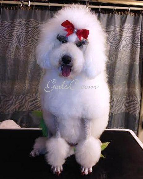 Adalia the Standard Poodle after creative rose groom front view