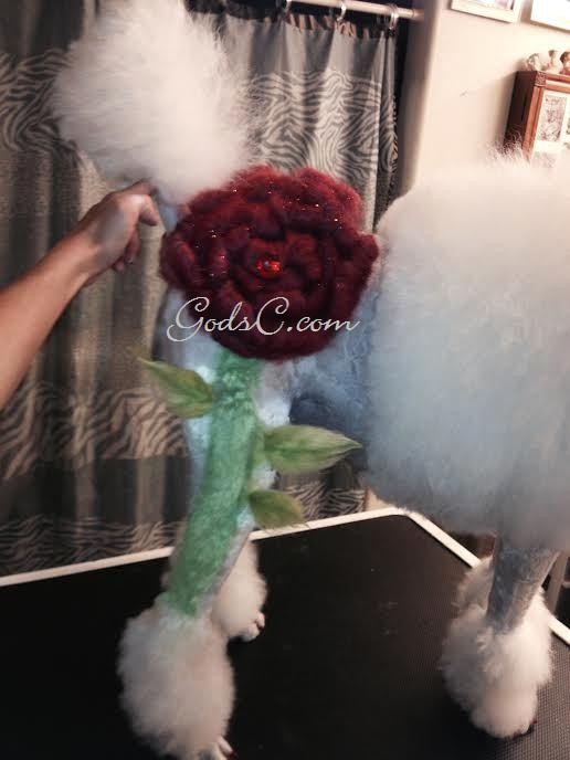 Adalia the Standard Poodle after creative rose groom right side rose view