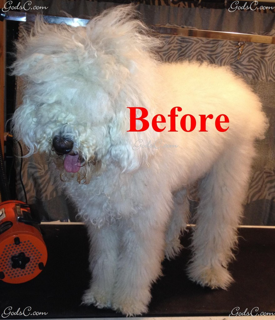 Adalia the Standard Poodle before creative rose groom left side view with no bands