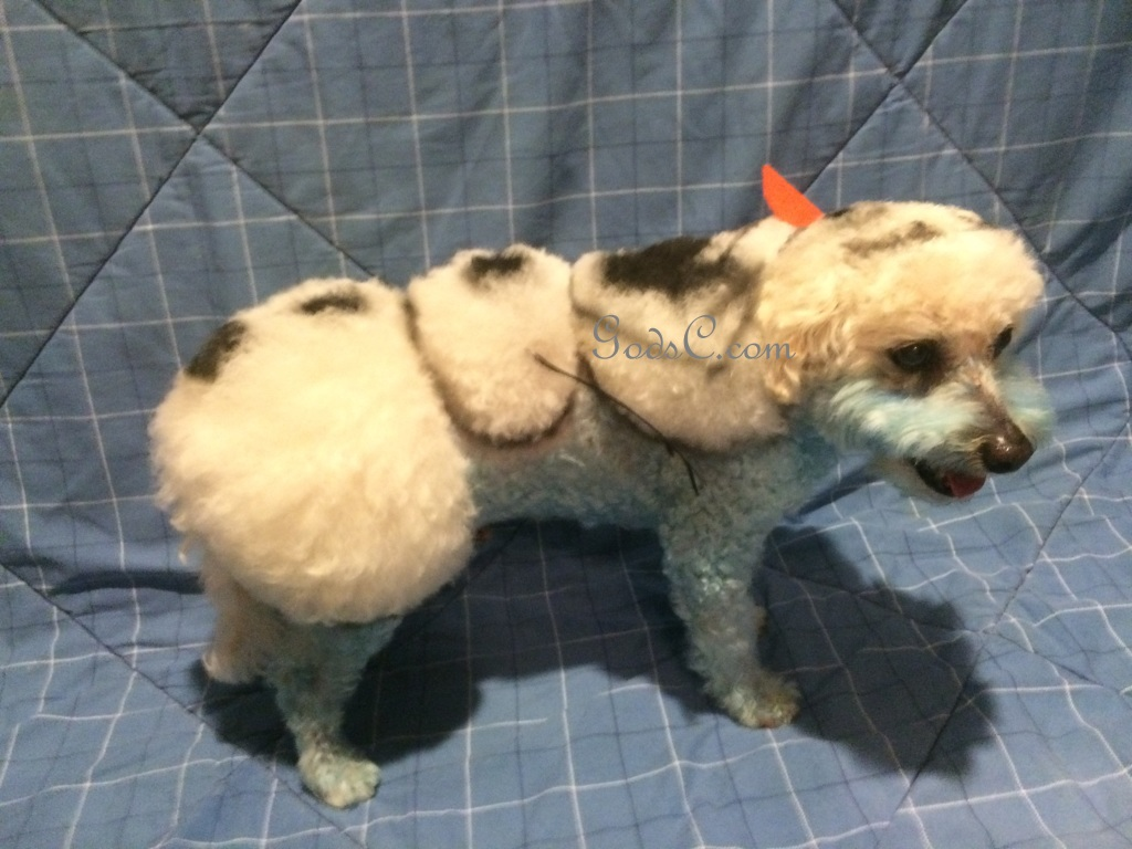 Cody the Bichon Frise Mix as Olaf from Disneys Frozen Creative Grooming p2