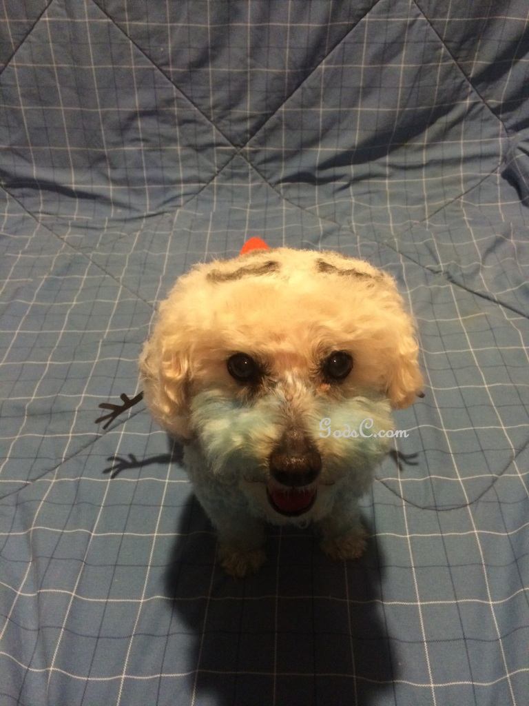 Cody the Bichon Frise Mix as Olaf from Disneys Frozen Creative Grooming p4