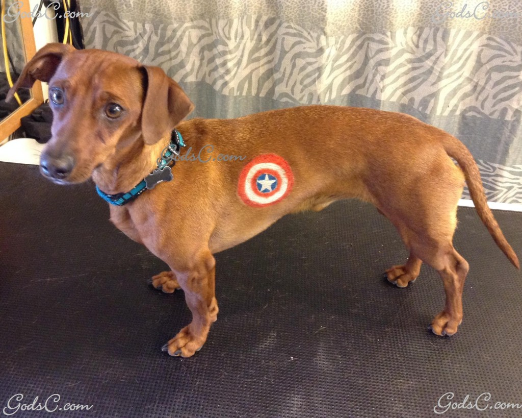 Cooper the Dachshund Captain America creative groom left side view