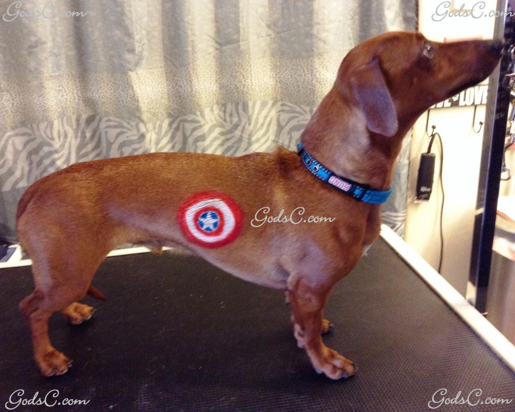 Cooper the Dachshund Captain America creative groom right side view