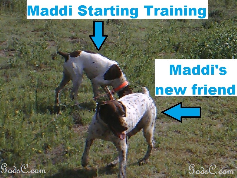Maddi the German Shorthaired Pointer in training