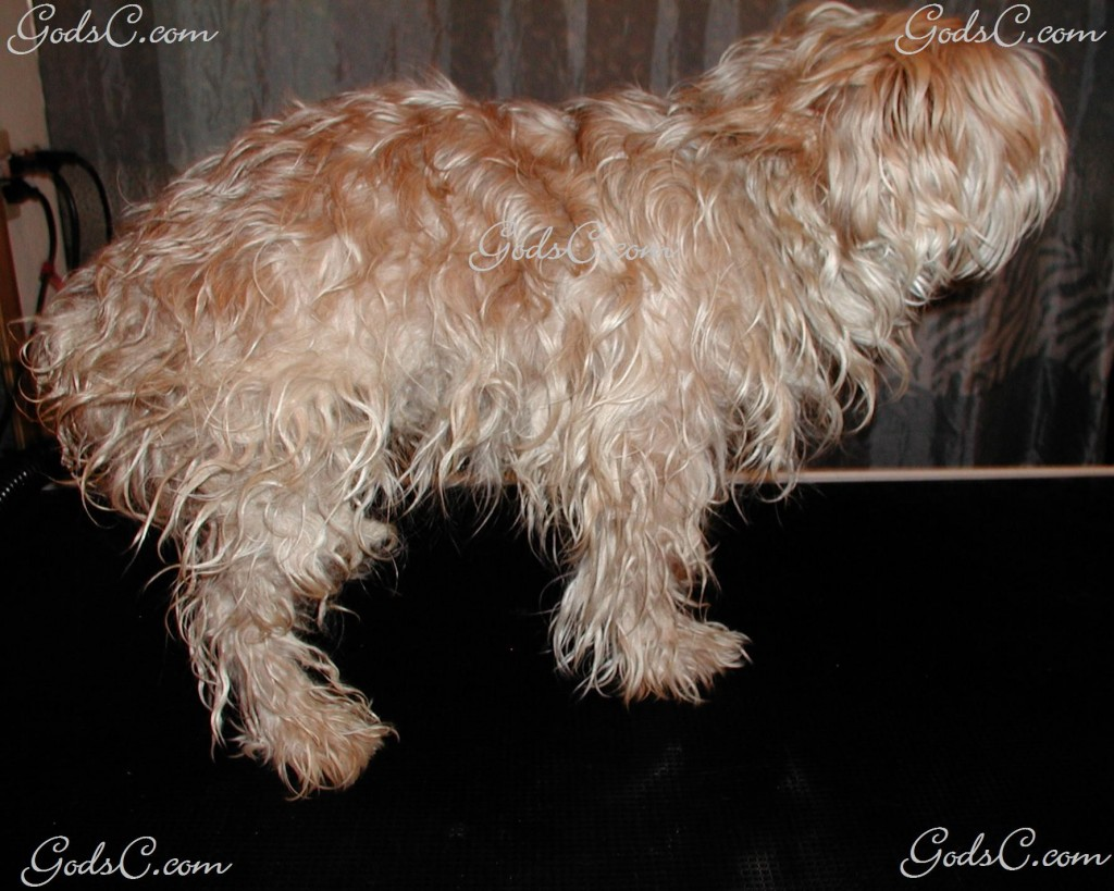 Moka the Silky Terrier before grooming right side view