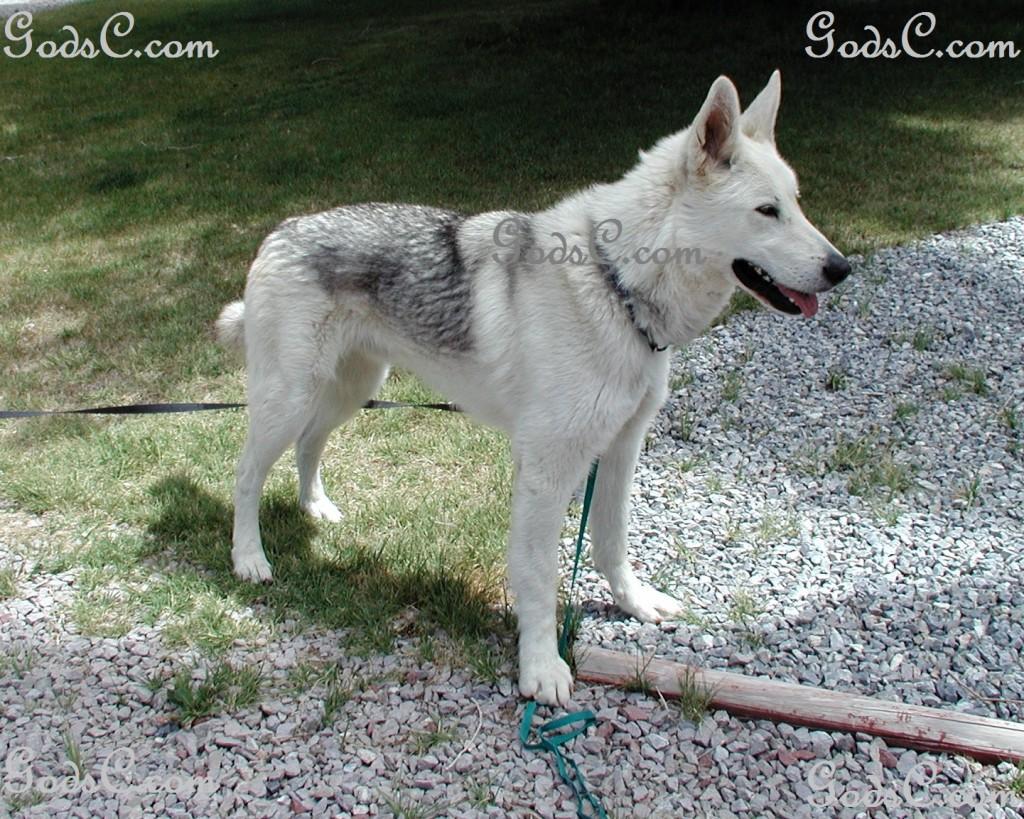 Rescued German Shepherd Siberian Husky mix