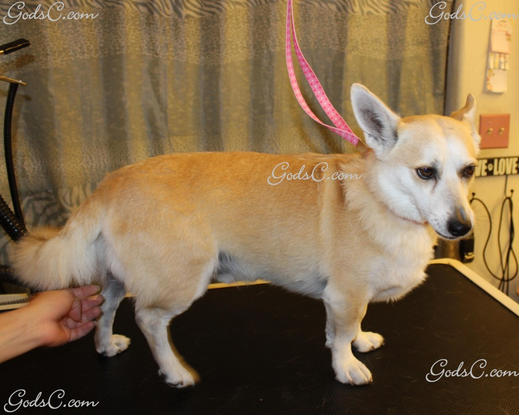 Sparky the Corgi Mix before creative leopard groom right side view