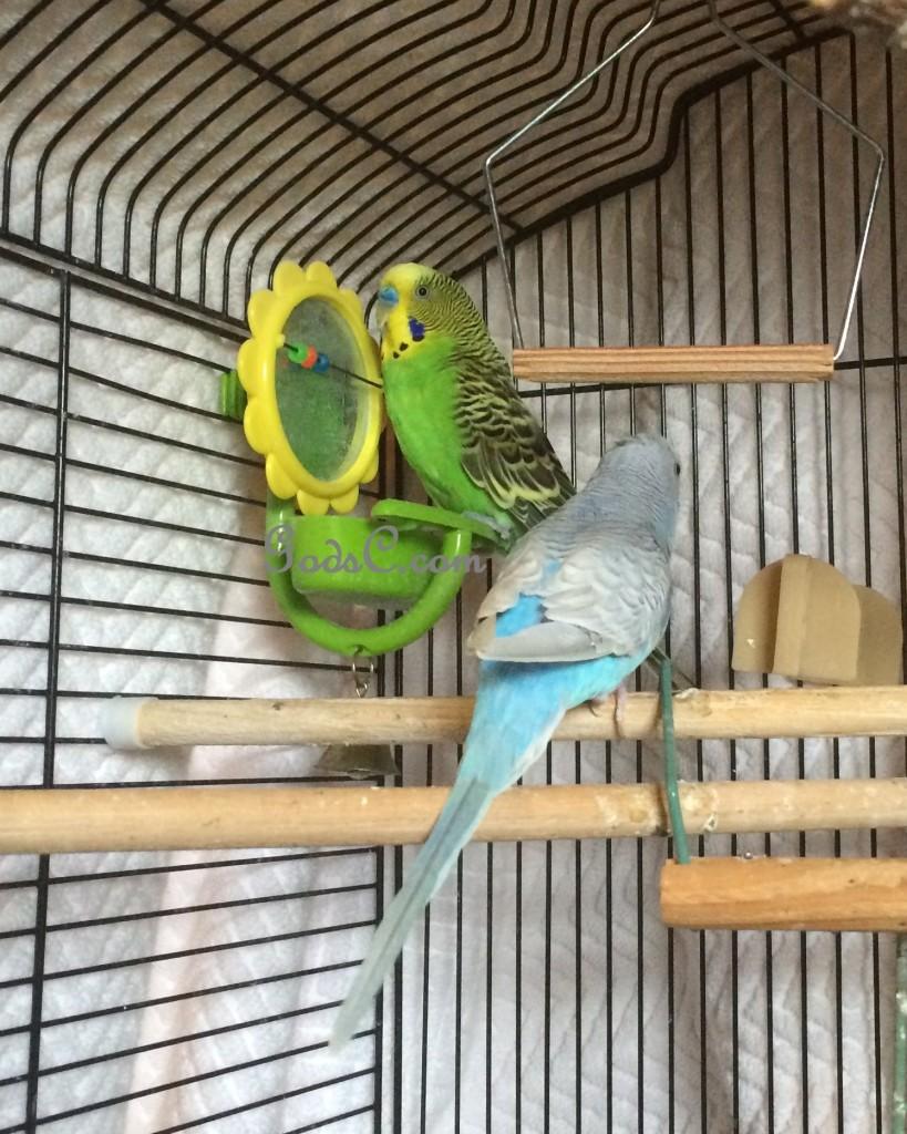 rescued green Parakeet or Budgerigar meet a new friend p3