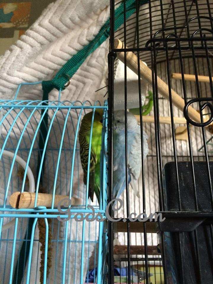 rescued green Parakeet or Budgerigar meet a new friend