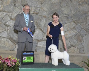 Bichon Frise Queen Hadassah Major AKC win April 23, 2016
