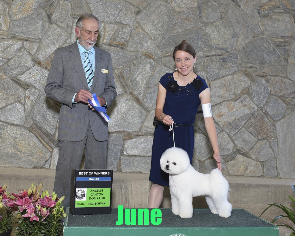 June Bichon Frise Show Dog