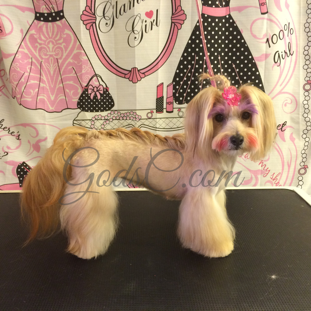 Snickerdoodle the Havanese Mix after Asian Flair Creative grooming right side view