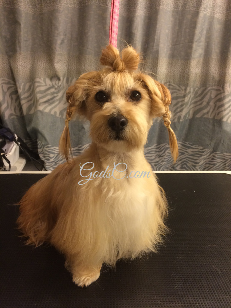 Snickerdoodle the Havanese Mix after creative grooming hair made into bow front view p2