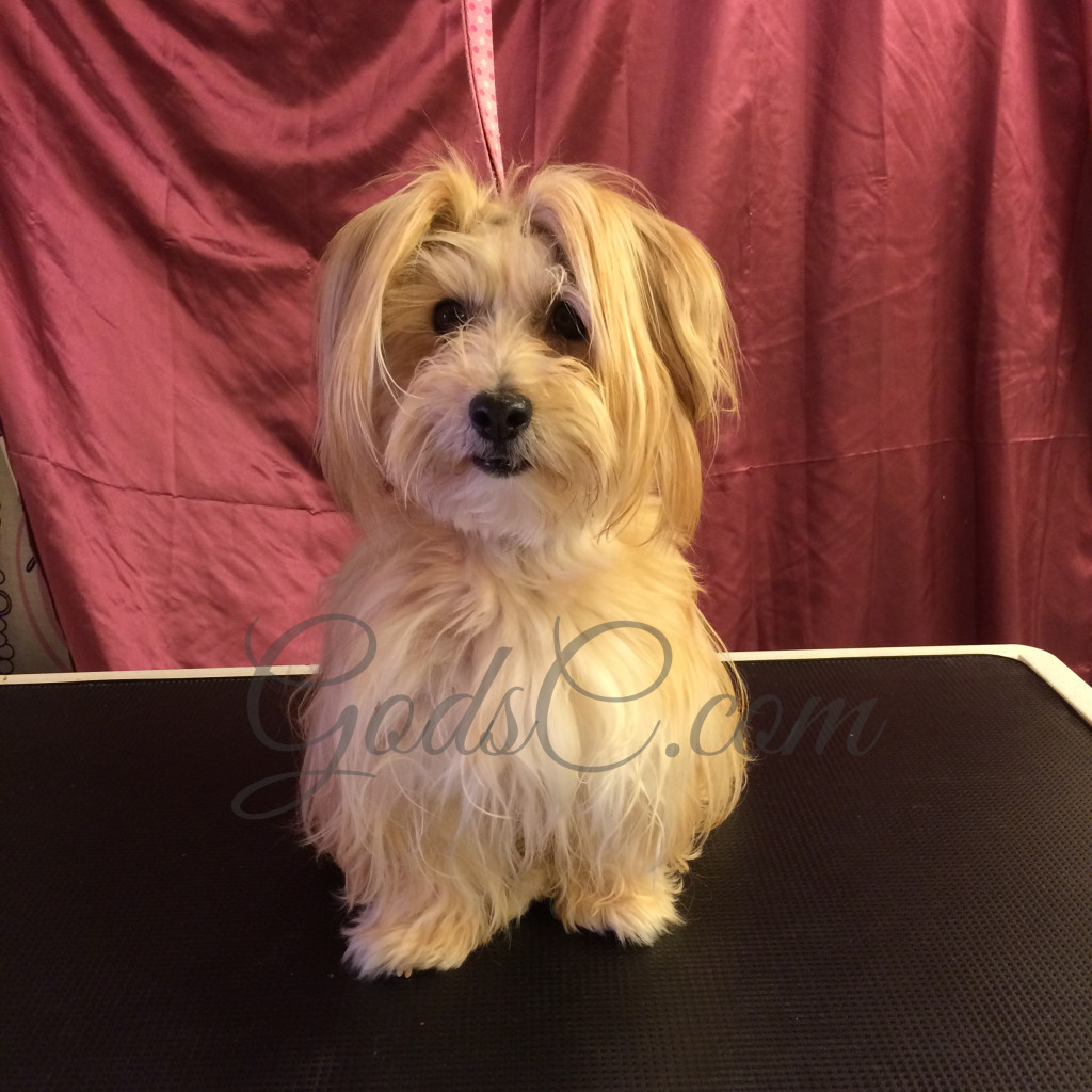 Snickerdoodle the Havanese Mix before grooming front view