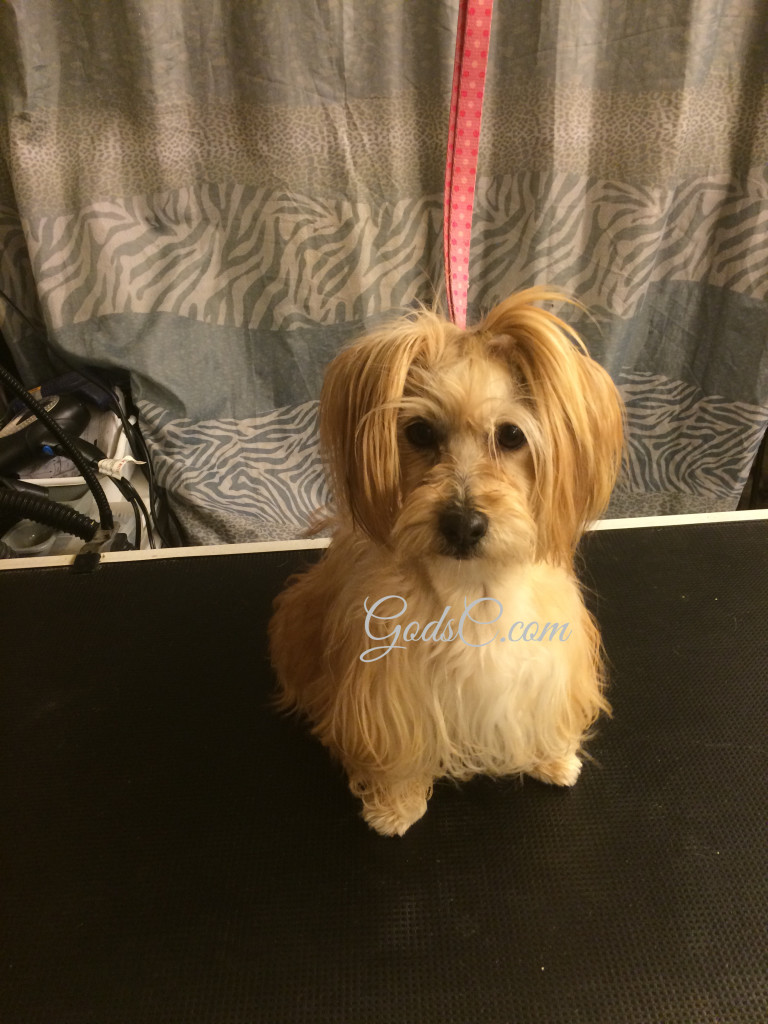 Snickerdoodle the Havanese Mix before grooming front view p1
