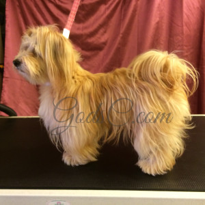 Snickerdoodle the Havanese Mix before grooming left side view