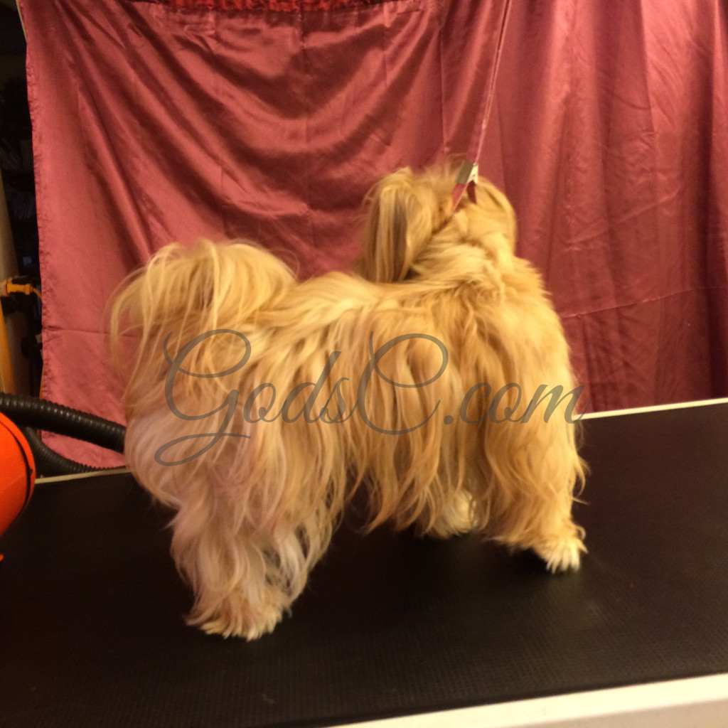 Snickerdoodle the Havanese Mix before grooming right side view