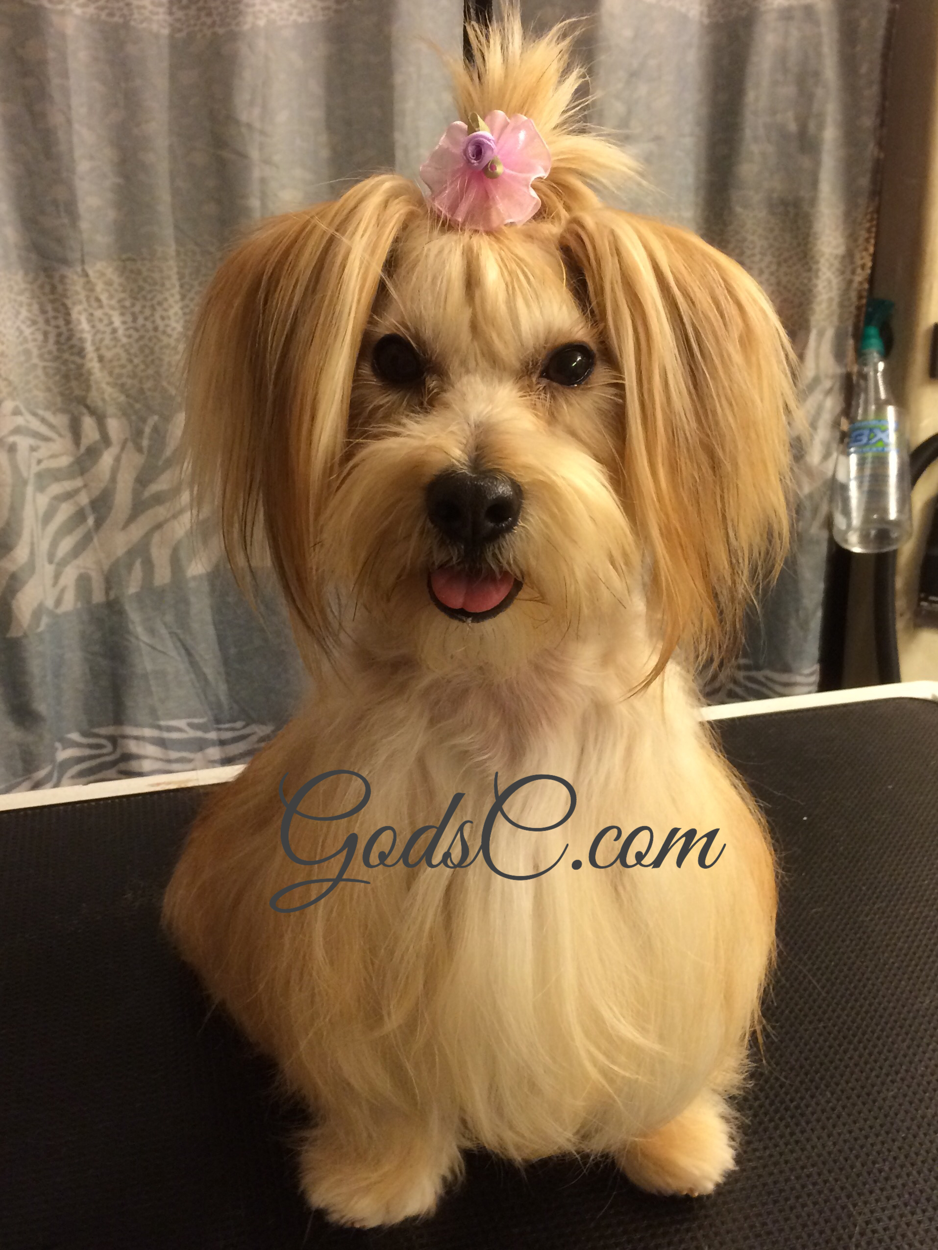 maltese yorkie mix rescue other animals for adoption god s creatures 1424