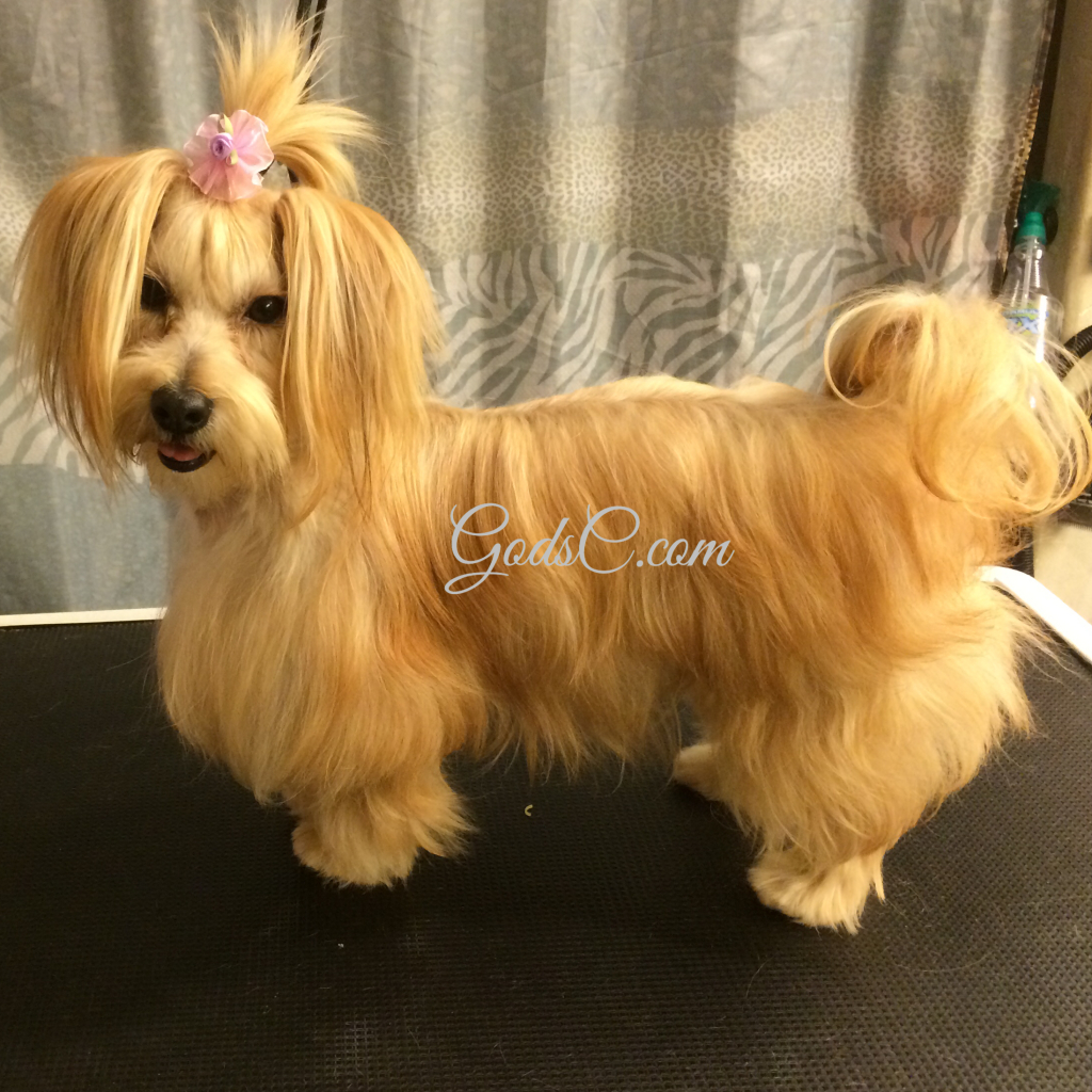 havanese yorkie other animals for adoption god s creatures 3704