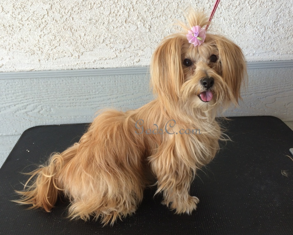 havanese yorkie god s creatures welcome to god s creatures c is for 7281